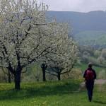 Kirschblüte auf der Schwäbischen Alb