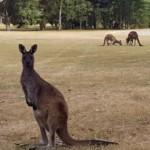 Kängurus auf dem Golfplatz halten den Rasen kurz